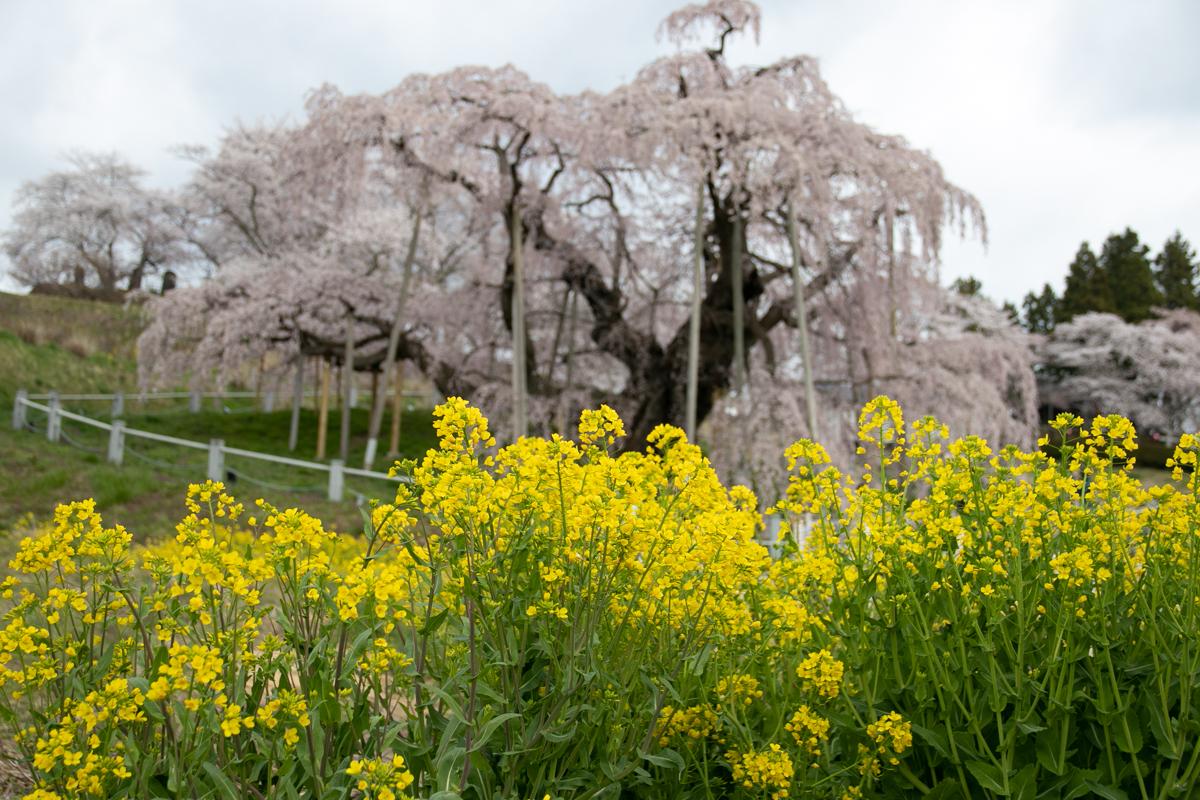 三春滝桜の写真
